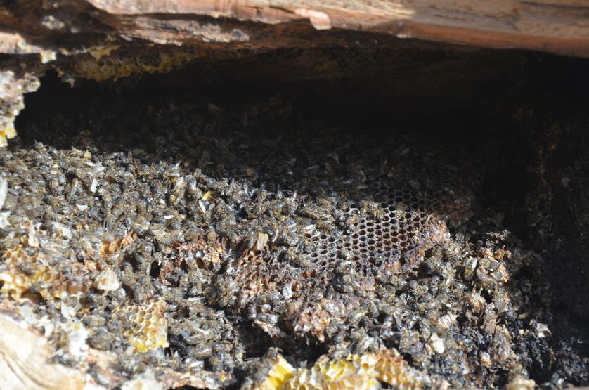 Waben und tote Bienen in einem gefällten Baum