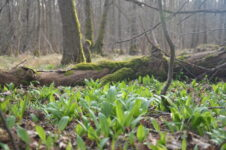 Bärlauch im Soonwald