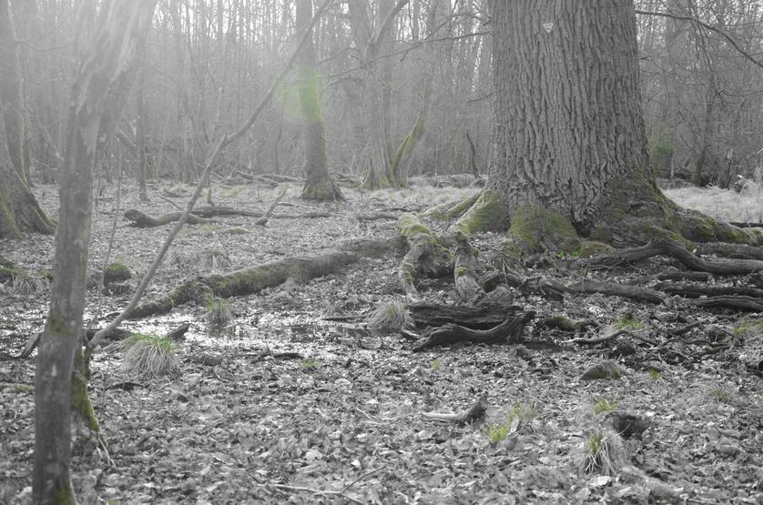 Sumpfwald, Wasser, Wald